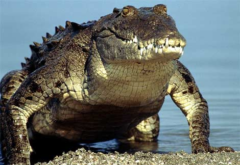 American-crocodile-emerging-water